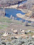 Rock Climbing Photo: Mtn Sheep on Bowsaw Ridge