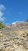 Wild goats...