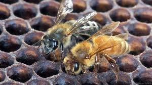 Rock Climbing Photo: Africanized honeybee