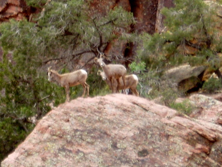 Big Horn sheep - taken from near top of descent gully