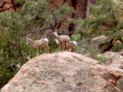 Rock Climbing Photo: Big Horn sheep - taken from near top of descent gu...
