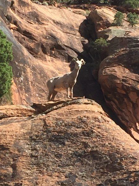 Rock Climbing Photo: Desert bighorns abound every spring.