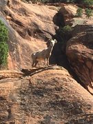Desert bighorns abound every spring.