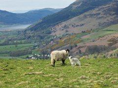 Rock Climbing Photo:  Sheep and Lamb