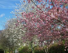 Rock Climbing Photo: Spring Blossom . Keswick
