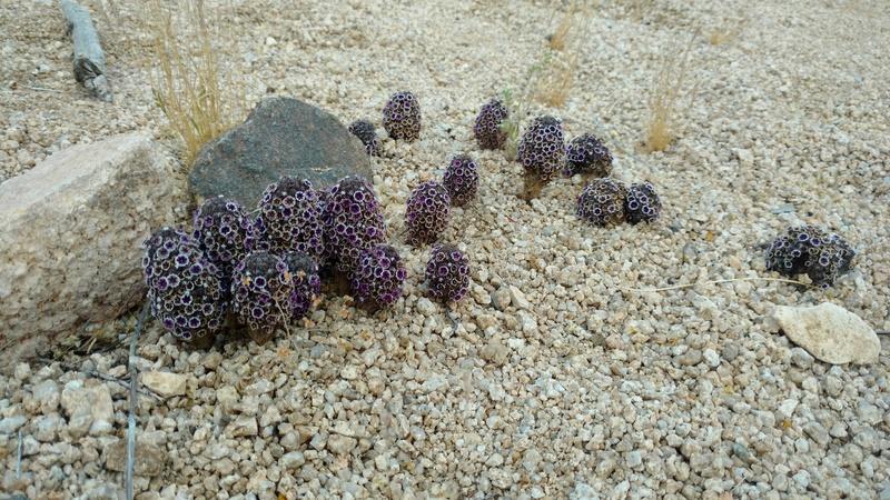 Rock Climbing Photo: GU faberge eggs desert style.