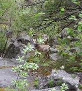 Rock Climbing Photo: Mtn Sheep at the base of the cliffs