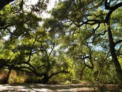Rock Climbing Photo: Oak tree canopy in the SMs