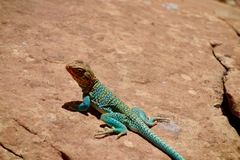 Common Collared Lizard at Indian Creek