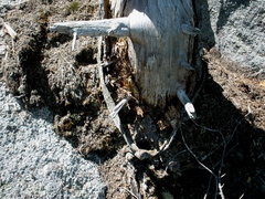"Rock Climbing Photo: ""Ancient Artifact"" on now-dead pine tree..."