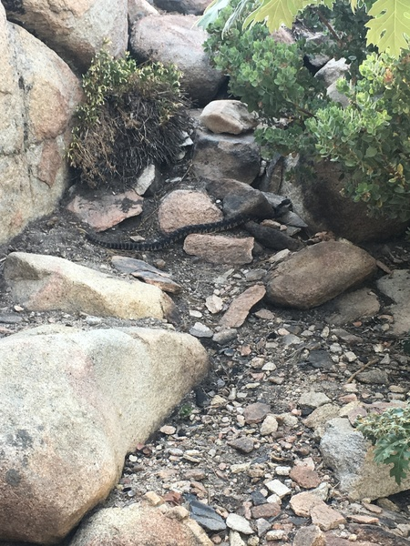 A healthy looking rattle snake at the base of the crag.