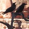 Vortex Ravens