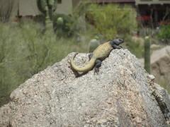 Rock Climbing Photo: Chuckwalla