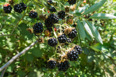 Rock Climbing Photo: Grab some blackberries when they are RIPE!!!