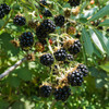 Grab some blackberries when they are RIPE!!!