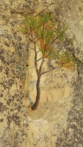The Goldblum tree.