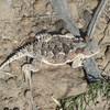 Horny toad on Elden