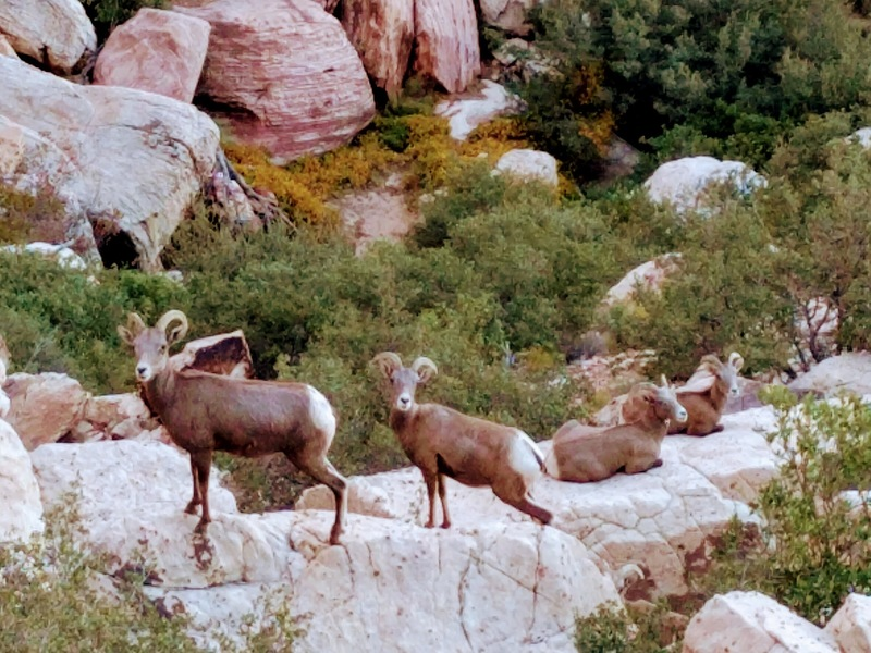 Bighorn sheep in First Creek Canyon 10/23/17.