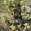 Teddy Bear Cholla. The branch segments break off easily and start new cacti like all of these little ones.