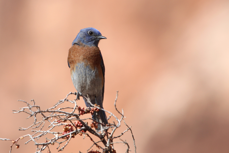 Western Bluebird near the 1st pullout