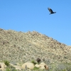 Turkey vulture below Knob Hill.