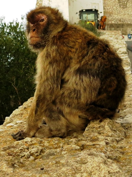 """What you lookin' at?""  Barbary Apes have free reign on the rock of Gibraltar"