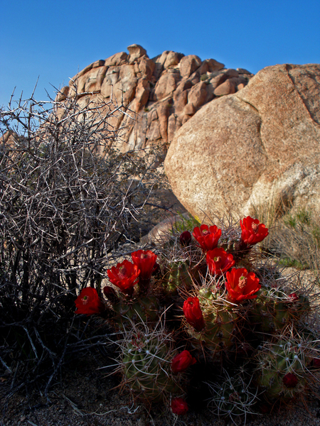 Cactus blossom at Joshua Tree National Park