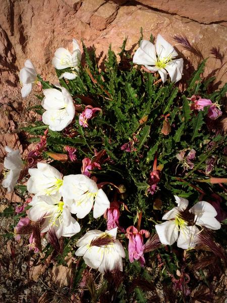Evening Primrose bloom in the ORG.