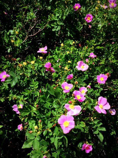 Wild rose bloom in the ORG.