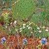 Sedona cactus and flowers