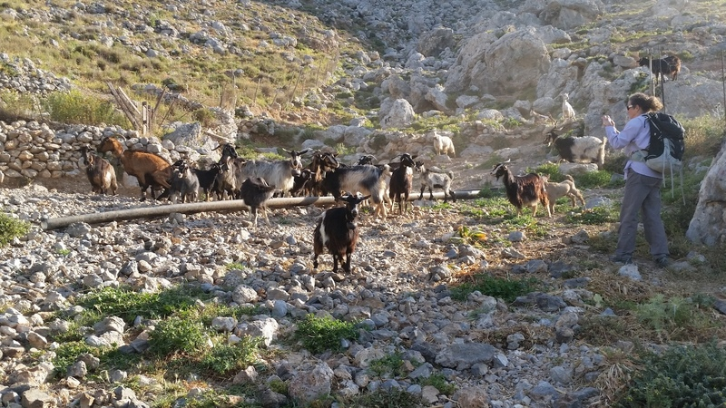 Goats guard the trail to Kastri