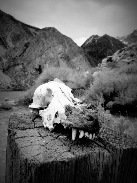 Coyote skull at Pine Creek Canyon