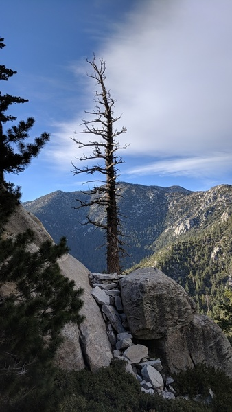 Find this tree on the North Gully desent to access the top of the Y-Crack buttress.