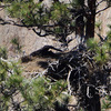 so big, but still looking quite helpless - long lens shot of the eaglet