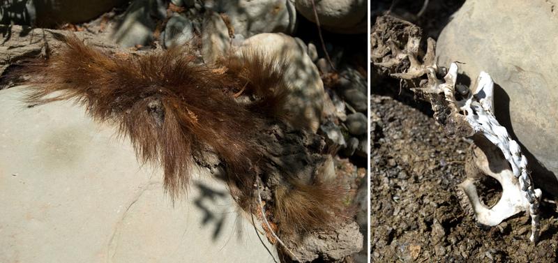 Ursus remains. Ladybug Canyon.