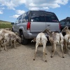 If you drive through salt flats on the way to the Summit Lake parking lot, beware that a herd of bigborn sheep might attack your car with their tongues!