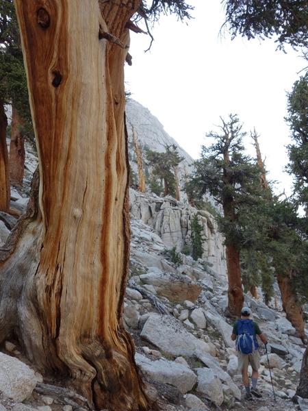 the rare and very cool foxtail pines (Pinus balfouriana) found around Meysan Lakes