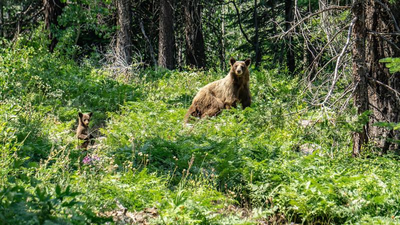 Momma bear with cub.<br> <br> Photo by Dalton Johnson<br> www.daltonjohnsonmedia.com<br> @daltonjohnsonmedia