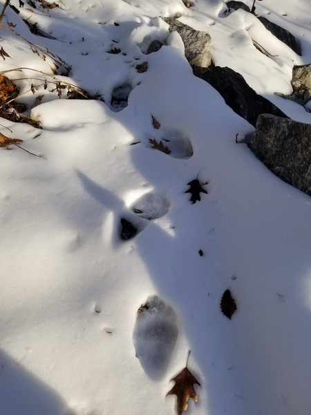 Bear prints on the approach to Comatose area