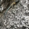 A collared lizard free-soloing the Jungle Wall.