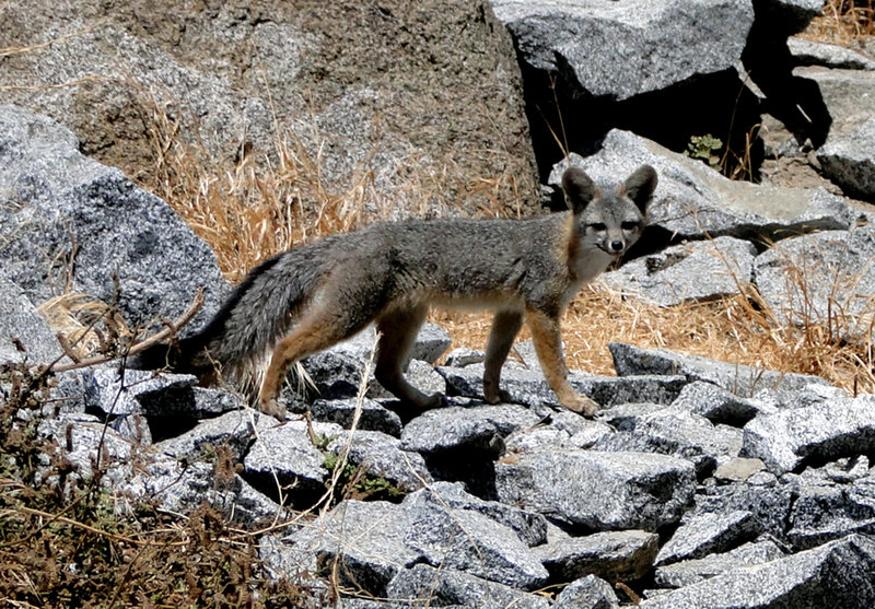 Fox at Riverside Quarry. This one waited until climbing commenced, then stole the belayer's lunch.