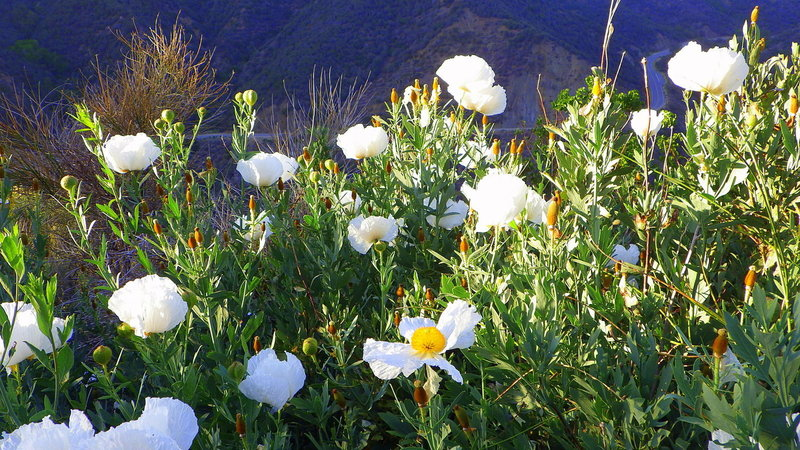Matilija poppies in the Sespe Gorge