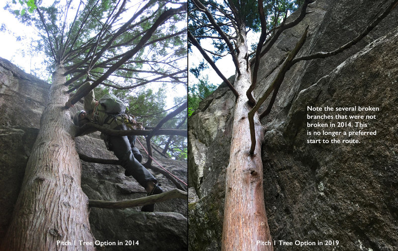 Pitch 1 Tree Option: 2014 and 2019. Several broken branches make this no longer the preferred start to the route.
