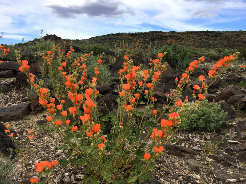Apricot Mallow and black basalt, Spring 2019. Death Valley CA