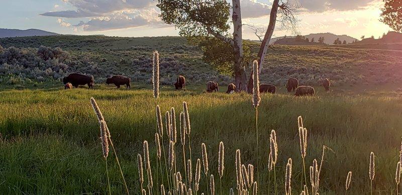 Grazing bison, Yellowstone NP<br> <br> Photo by Dave Masuo