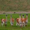 Wild guanacos, Chile