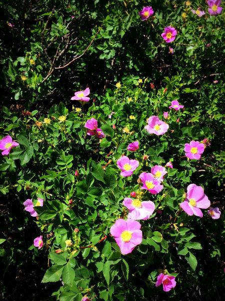 Wild Rose, Owens River Gorge, Sierra Eastside CA