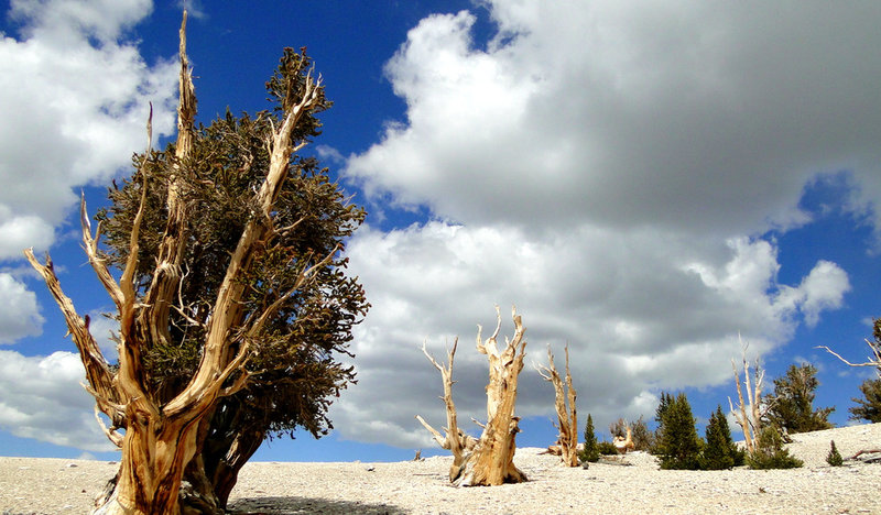 Bristlecone trees at the Patriarch Grove, White Mountains CA