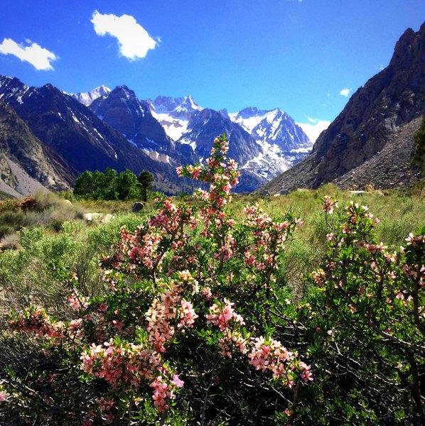 Blooms in Pine Creek Canyon, Eastern Sierra CA