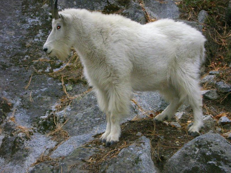 Devil goat, Icicle Canyon, Leavenworth WA